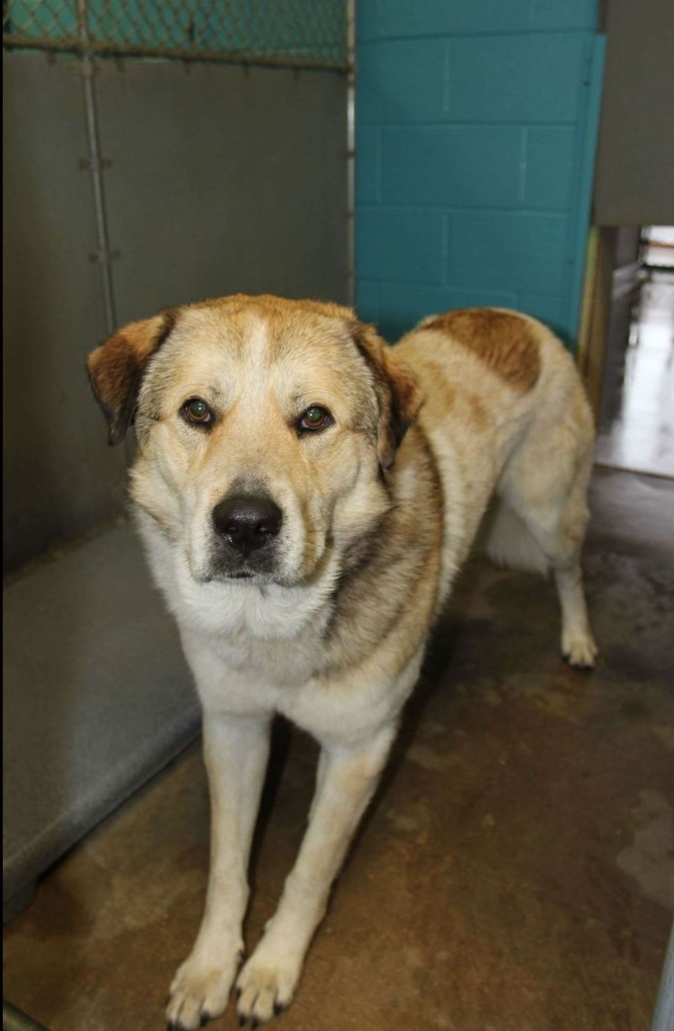 Amos - male Great Pyrenees mix, no dogs or cats, great with kids, 1 year old